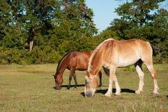 Dois bonitos, cavalos brilhantes que pastam Fotografia de Stock Royalty Free
