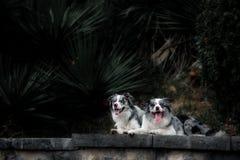 Dois border collie feliz que anda em um parque exótico imagem de stock royalty free