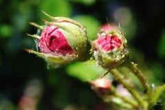 Dois botões de um cor-de-rosa aumentaram, rosas bonitas florescem no jardim Fotografia de Stock