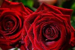 Dois botões molhados da rosa do vermelho fecham-se acima Imagem de Stock Royalty Free