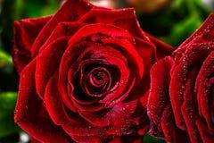 Dois botões molhados da rosa do vermelho fecham-se acima Imagens de Stock Royalty Free