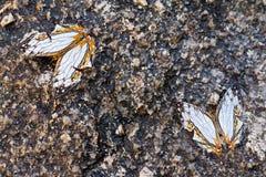 Dois brancos e erro amarelo da borboleta na cachoeira Imagens de Stock