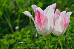 Dois brancos e tulipa cor-de-rosa Imagens de Stock Royalty Free