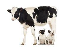 Dois buldogues franceses que sentam-se sob uma vitela, 8 meses velha Imagens de Stock Royalty Free