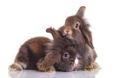 Dois bunnys adoráveis do coelho da cabeça do leão que encontram-se para baixo Fotos de Stock Royalty Free