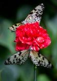 Dois butterflys em uma flor Fotos de Stock Royalty Free