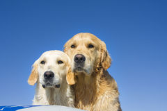 Dois cães Imagem de Stock