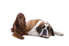 Dois cães Fotografia de Stock Royalty Free