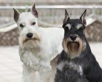 Dois cães adoráveis Imagem de Stock