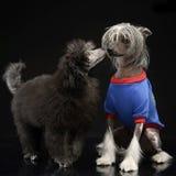 Dois cães amam-se em um estúdio escuro Imagens de Stock Royalty Free