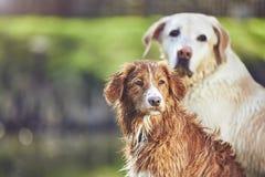 Dois cães amigáveis na natureza do verão Imagem de Stock Royalty Free