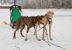 Dois cães aproveitados aos esportes Fotos de Stock Royalty Free