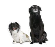 Dois cães bastardos na frente do fundo branco Imagens de Stock Royalty Free