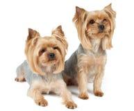 Dois cães bonitos foto de stock