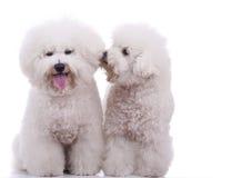 Dois cães bonitos do frise do bichon foto de stock royalty free