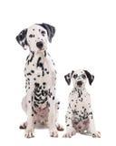 Dois cães bonitos pai e filho do dalmatian fotografia de stock