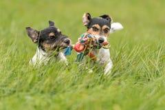 Dois cães correm e jogam com uma bola em um prado Um cachorrinho bonito novo de Jack Russell Terrier com sua cadela imagens de stock