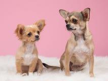 Dois cães da chihuahua Fotografia de Stock