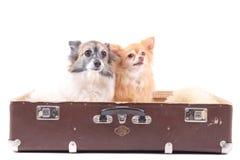 Dois cães da chihuahua na mala de viagem Fotos de Stock