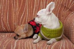 Dois cães da chihuahua vestiram-se com os pulôveres que descansam no sofá Fotografia de Stock Royalty Free