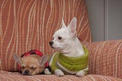 Dois cães da chihuahua vestiram-se com os pulôveres que descansam no sofá Imagens de Stock