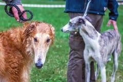 Dois cães da criação de animais do galgo com seus mestres em uma caminhada em r imagens de stock royalty free