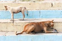 Dois cães da rua que comem peixes Fotos de Stock