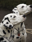 Dois cães dalmatian Imagem de Stock