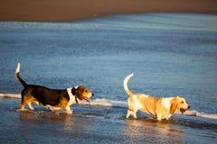Dois cães de basset pelo mar Fotos de Stock Royalty Free