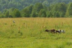 Dois cães de caça trabalham na caça para pássaros Narceja de voo imagem de stock