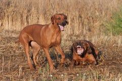 Dois cães de jogo imagens de stock