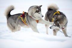 Dois cães de jogo do cão de puxar trenós siberian foto de stock