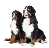 Dois cães de montanha de Bernese Fotos de Stock