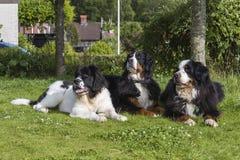 Dois cães de montanha de Bernese e um Landseer ECT Fotos de Stock Royalty Free