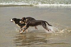 Dois cães de montanha de Bernese que funcionam no oceano Foto de Stock