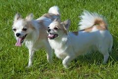 Dois cães de passeio felizes da chihuahua Fotos de Stock