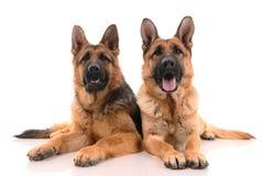 Dois cães de pastor alemão Foto de Stock Royalty Free