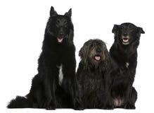 Dois cães de pastor belgas e Misturado-produzem o cão imagens de stock