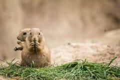 Dois cães de pradaria, roedor pequeno, comendo fotografia de stock royalty free