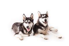 Dois cães de puxar trenós dos irmãos Foto de Stock Royalty Free