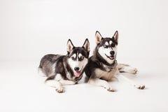 Dois cães de puxar trenós dos irmãos Imagem de Stock