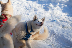 Dois cães de puxar trenós no shleek da neve Imagens de Stock Royalty Free