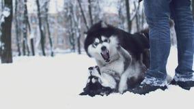 Dois cães de puxar trenós siberian brincalhão para morder-se e jogá-lo com seu proprietário que anda junto no parque no dia de in video estoque