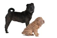 Dois cães de Shar-Pei Foto de Stock