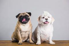 Dois cães de sorriso, um pisc imagem de stock royalty free