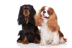 Dois cães descuidados do Spaniel de rei Charles Imagens de Stock Royalty Free