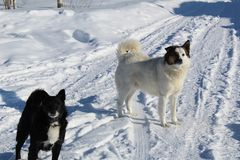 Dois cães desgrenhado correm através da vila no inverno Fotografia de Stock