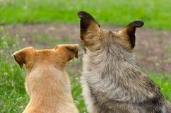 Dois cães dispersos Foto de Stock