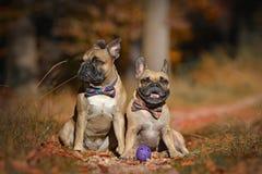 Dois cães do buldogue francês da jovem corça com os bowties que sentam-se na floresta da folha do outono imagem de stock royalty free