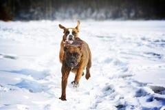 Dois cães do divertimento do pugilista da raça correm no inverno na natureza, Imagens de Stock